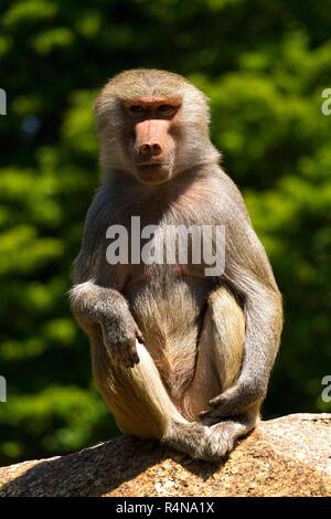 Baboon (Papio hamadryas) Female, sitting on rock, Hellabrunn Zoo, Munich, Upper Bavaria, Germany, Europe. - Stock Image