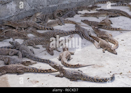 Young crocodiles basking in a pen at a breeding farm in Cuba. - Stock Image