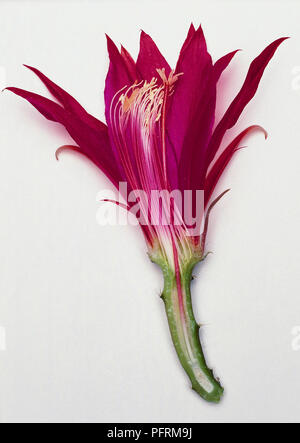 A longitudinal section of a cactus flower. Stamens, sepal, stigma, petal, style,ovary, filament and anther. - Stock Image