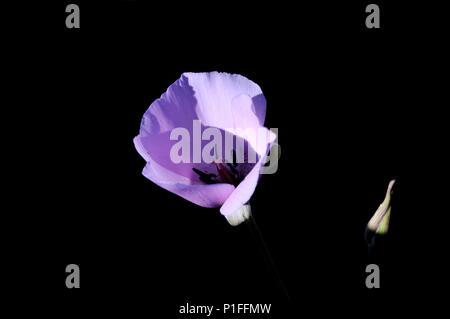 Splendid Mariposa lily, Calochortus splendens, Cuyamaca Rancho State Park, CA 080518_30321 - Stock Image