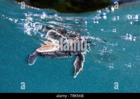 Hawksbill Turtle hatchling paddles away from shore, Eretmochelys imbricata, Lissenung, New Ireland, Papua New Guinea - Stock Image
