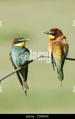 Male (right) and female (left)  European bee-eaters, Latin name Merops apiaster,  perched on a branch in warm lighting - Stock Image