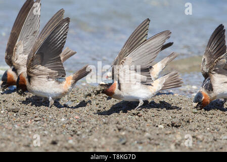 American Cliff Swallow - Stock Image