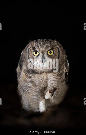 Spotted eagle owl (Bubo africanus) subadult at night, Zimanga private game reserve, KwaZulu-Natal, South Africa, September 2018 - Stock Image