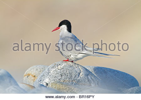 ARCTIC TERN (Sterna paradisaea) rests on a beach in the Arctic - Stock Image