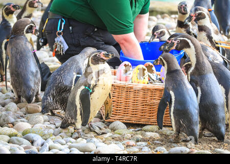 ZSL London Zoo, London, UK. 18th Apr, 2019. The Zoo's resident colony of Humboldt penguins (Spheniscus humboldti) are served their fishy breakfast in a bright Easter basket. ZSL keepers have organised an Easter hunt with surprise treats for the animals. And a cheeky heron also tries to get in on the act. Credit: Imageplotter/Alamy Live News - Stock Image
