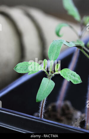 Three tomato plant seedlings growing in a gardening tray and ready to be planted. Extreme shallow depth of field with selective focus on plant in fore - Stock Image