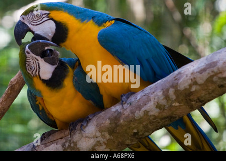 A Pair of parrots on a tree branch - Stock Image