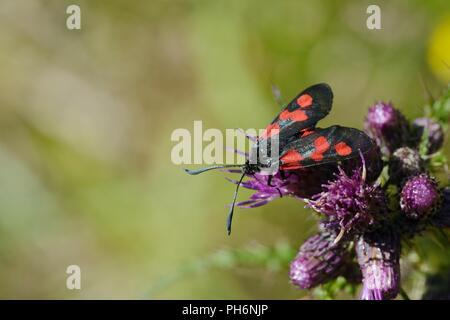 Five Spot Burnet Moth, Zygaena trifolii, feeding on a thistle flower, Wales, UK. - Stock Image