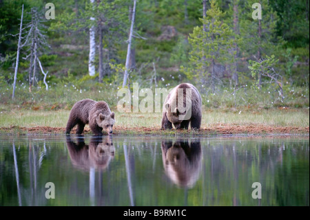 European brown bear Ursus arctos mother and cub drinking at forest lake Finland - Stock Image