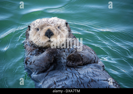 Cute Sea Otter, Enhydra lutris, lying back in the water, Seldovia Harbor, Alaska, USA - Stock Image
