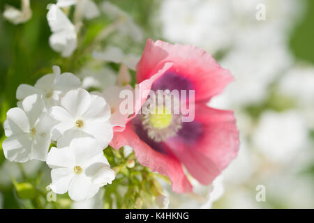 pink poppy and white phlox - Stock Image