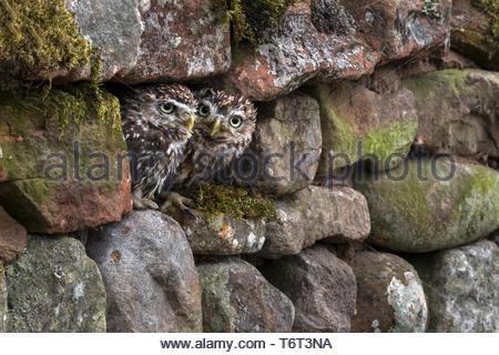Little owls (Athene noctua), captive, Cumbria, UK, - Stock Image