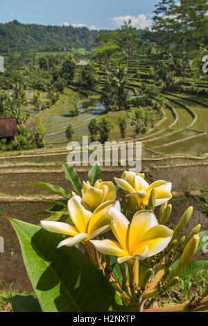 Indonesia, Bali, Sidemen, frangipani flowers above tiered rice terraces in River Unda valley - Stock Image