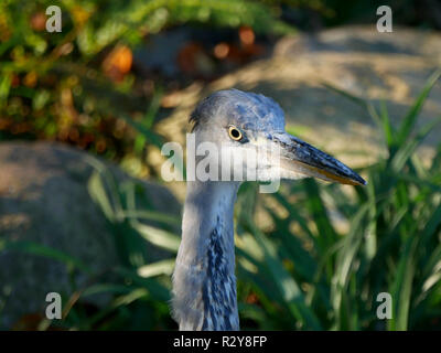 Closeup head shot of a Grey Heron - Ardea Cinerea - Stock Image