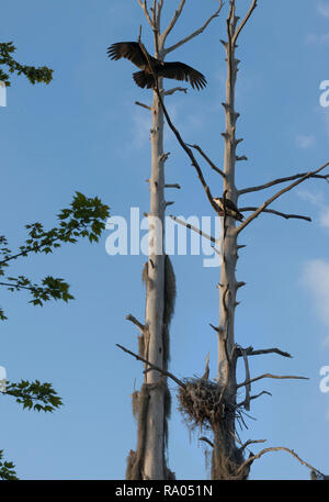 A black vulture, an osprey, and a nesting great blue heron share the same tree. - Stock Image