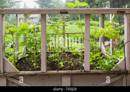 Edible vegetable plants including Arugula - Rocket Salad being grown in wooden box containers in residential backyard organic garden in early summer - Stock Image