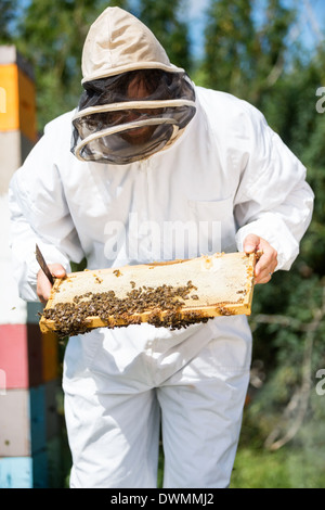 Beekeeper Inspecting Honeycomb Frame On Farm - Stock Image