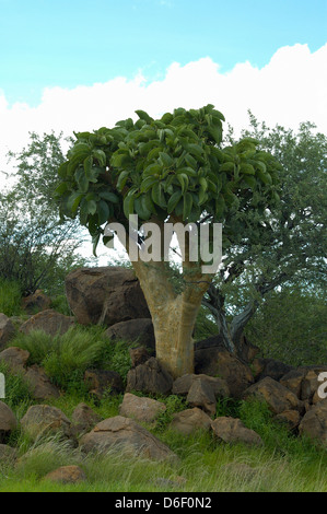 Cobas / Kobas / Butter tree (Cyphostemma currorii : Vitaceae) Namibia - Stock Image