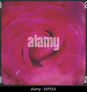 Pink rose bloom - Stock Image
