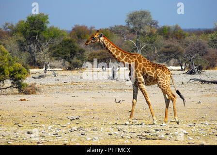 Walking Giraffe, Etosha National Park Namibia - Stock Image