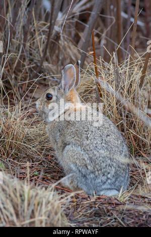 Mountain or Nuttall's Cottontail rabbit (Sylvilagus nuttalli) in winter, Castle Rock Colorado US. Photo taken in February. - Stock Image
