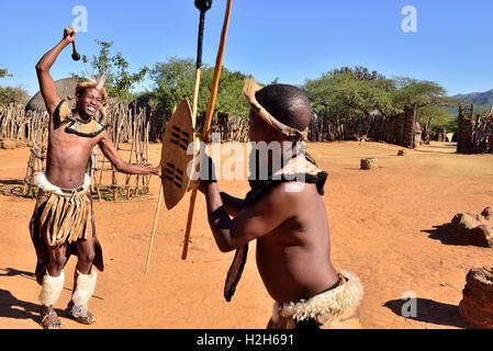 Shakaland Zulu troupe members in a  Zulu mock tribal fight with spears and clubs at the Shakaland Cultural Village - Stock Image