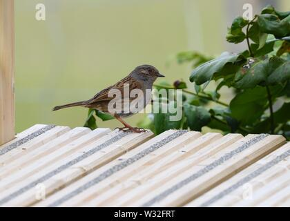 A passerine, Dunnock (Prunella modularis) scavenging for food on an outdoor deck in Scotland, UK, Europe. - Stock Image