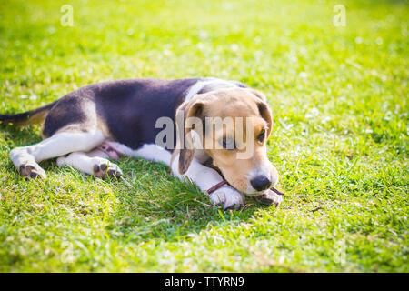 puppy beagle dog biting a wood stick - Stock Image