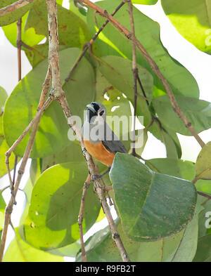 Black-faced Monarch (Monarcha melanopsis), Lake Tinaroo, Atherton Tableland,  Far North Queensland, FNQ, QLD, Australia - Stock Image