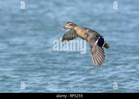 Female Mallard duck, missing an eye, in flight - Stock Image