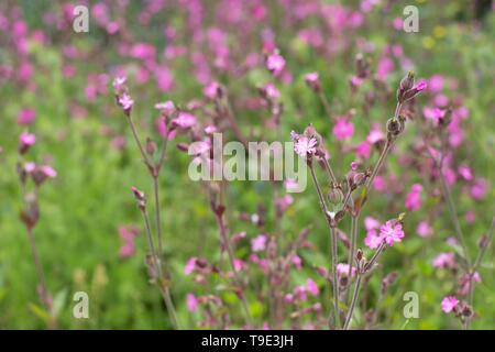 Red Campion - Silene dioica - at the Owen Rose Garden in Eugene, Oregon, USA. - Stock Image