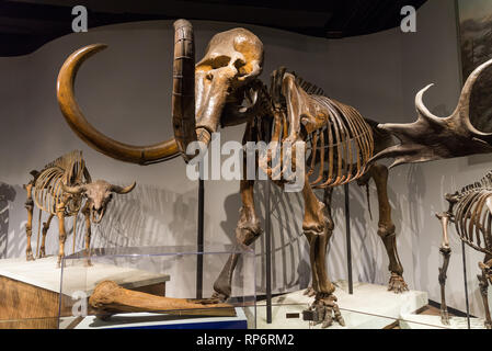 Fossil skeletons of a Woolly Mammoth (Mammuthus primigenius). Mammals of Ice Age exhibit. The Field Museum. Chicago, Illinois, USA. - Stock Image
