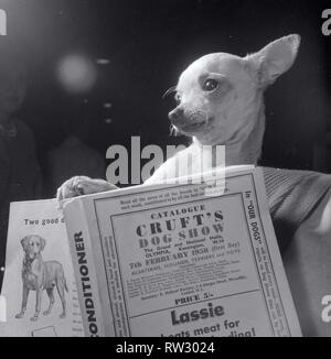 'Pentrevach of Perrywee' at the crufts dog show Animal dog chihuahua reading a book February 1958 - Stock Image