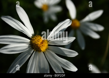 Some wild daisies with missing petals.... - Stock Image