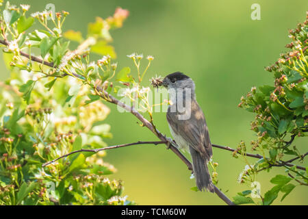 A male european Blackbird (turdus merula) singing in a tree with on a clear, sunny day in Spring season. - Stock Image