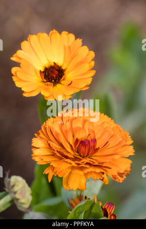 Double orange flowers of the annual or biennial pot marigold, Calendula officinalis 'Indian Prince' - Stock Image