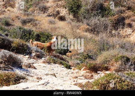 Traditional Cypriot goat grazing on scrub bondu ground, Cyprus 2010 - Stock Image