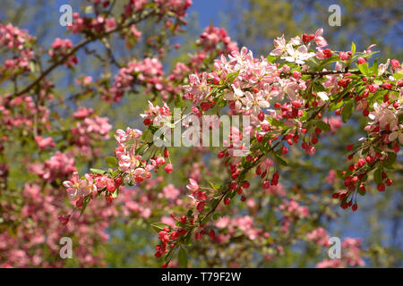 showy crabapple flowers in front of azure sky as spring theme background, malus floribunda or japenese crab or purple chokeberry in spring - Stock Image
