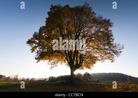 Common Lime Tree (Tilia europaea), and Setting Sun in Autumn, Hessen, Germany - Stock Image