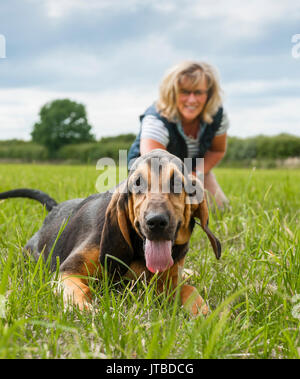 A dog owner with a young - 16 week old - bloodhound puppy out for a walk on one of his first days lead training, showing the puppy geting excited and pulling on his lead - Stock Image