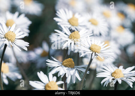 Carpet of daisy flowers in meadow - Stock Image
