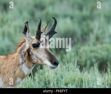 Face of Pronghorn Antelope with copy space to right - Stock Image