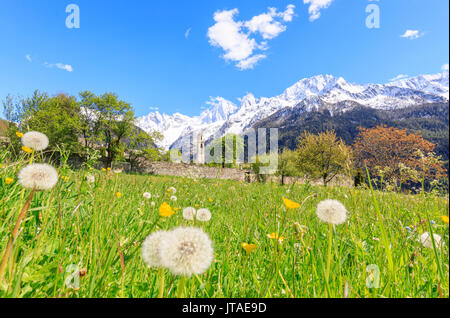 Old church framed by dandelions and snowy peaks, Soglio, Maloja, Bregaglia Valley, Engadine, canton of Graubunden, Switzerland - Stock Image