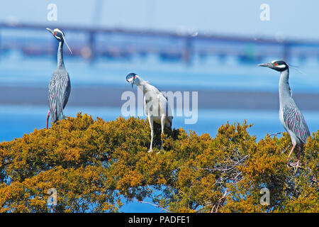 Yellow-crowned and Black-crowned Night Herons - Stock Image