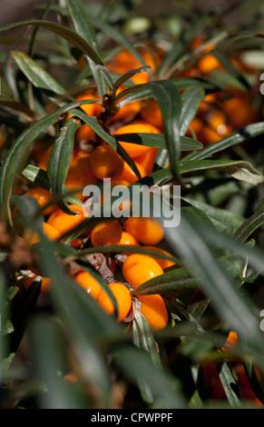 Sea buckthorn ( Hippophaë rhamnoides ) berries - Stock Image