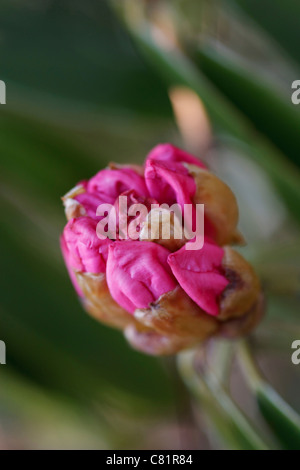 Close up image of a blossom Rhododendron (Rhododendron carolinianum) in spring time. - Stock Image