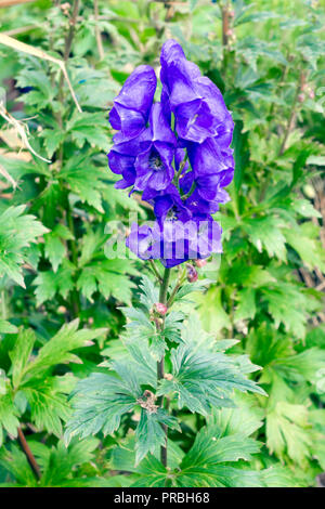 Aconitum or Monks Hood a very poisonous plant with blue bell shaped flowers growing in a urban garden in North Yorkshire England UK - Stock Image