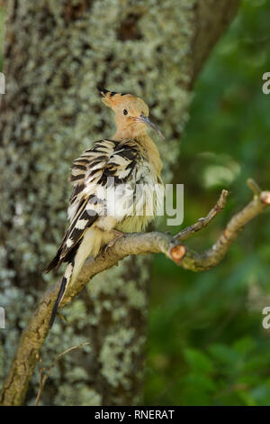 Hoopoe, Latin name Upupa epops, perched on a branch while ruffling feathers - Stock Image