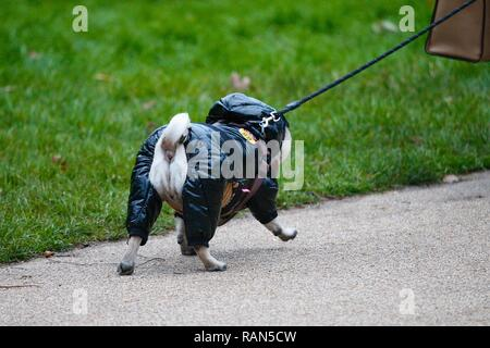 Hastings, East Sussex, UK. 05 Jan, 2019. UK Weather: A chilly start to the morning in Alexandra park in Hastings, East Sussex. This pug dog is wrapped up warm for the cold weather. © Paul Lawrenson 2018, Photo Credit: Paul Lawrenson / Alamy Live News - Stock Image